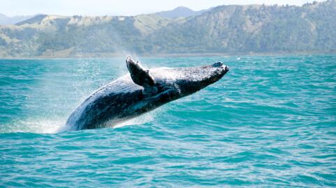 STØRST: Blåhvalens penis kan måle opp til 2,5 meter. (FOTO: Colourbox)