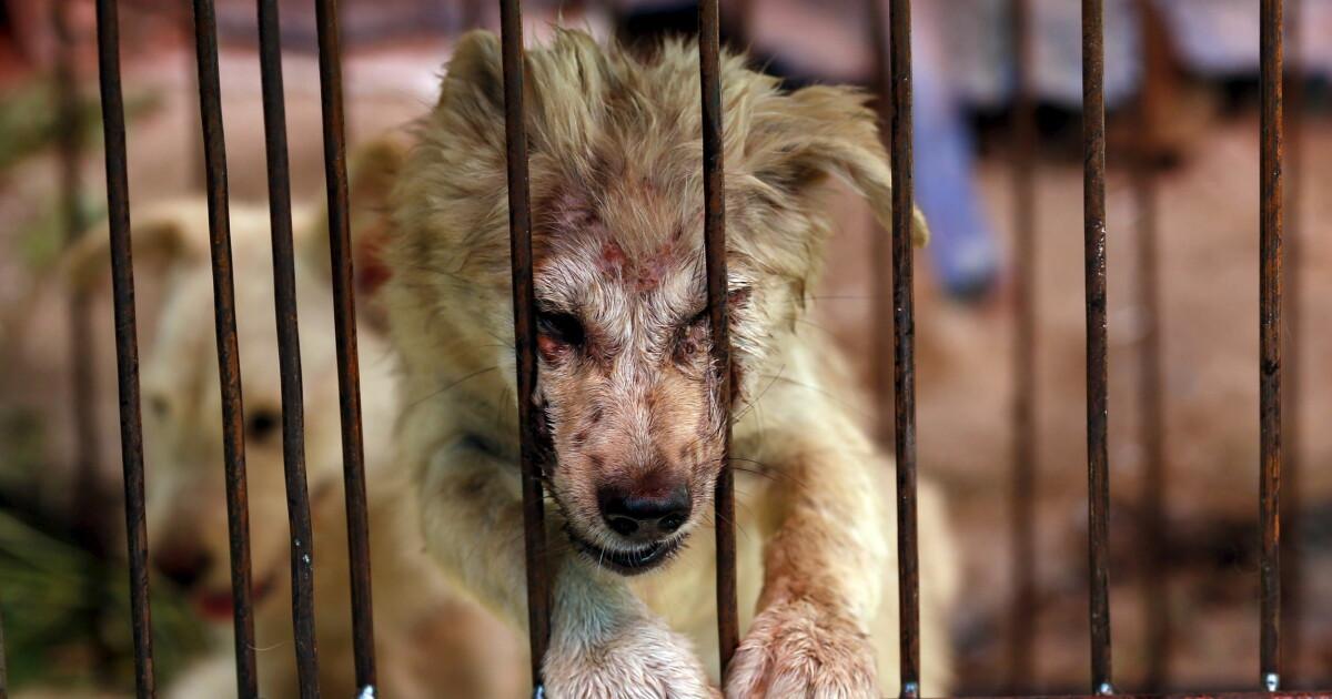 Verdensstjernene Raser Men Den Makabre Hundefestivalen