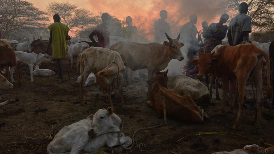 KVEG: Kveg skal være en del av konflikten mellom Nuer-stammen og Murle-stammen. Her er Nuer-stammen avbildet sammen med kryne sine i Nyal i Sør-Sudan i februar i fjor. FOTO: TONY KARUMBA/AFP PHOTO