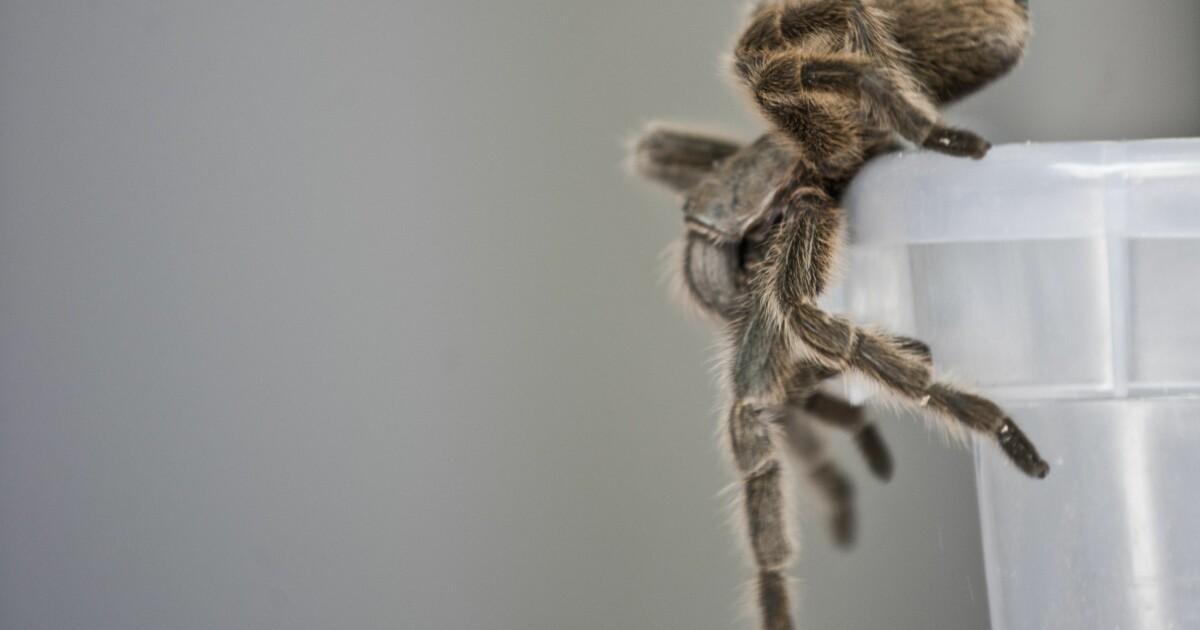 Om edderkoppene spiste alle mennesker på jorden, ville de fortsatt vært sultne