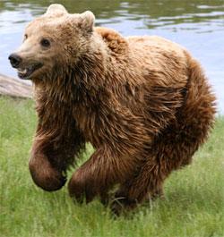 Du klarer ikke å løpe fra en bjørn, den kan spurte i over 50 km/t! (Foto: Wikimedia)