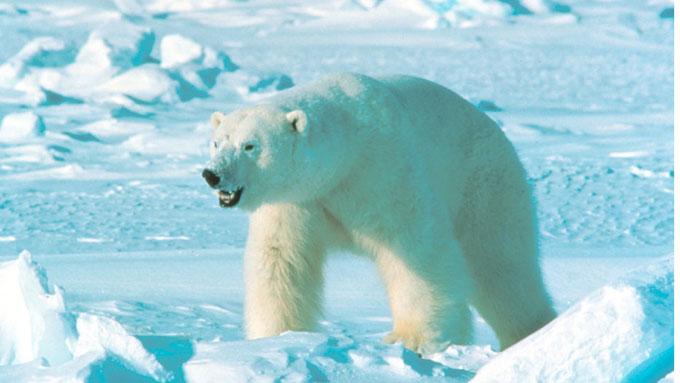 Is bjørn i magen forskere har funnet deler av isbjørn i magen til