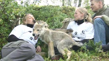 Polar Zoo sosialiserer ulvevalpene for å fjerne frykten for menneskene.  (Foto: TV 2)