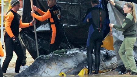 Forskerne trekker den døde babyhvalen opp på land. Hvalen trudde en seilbåt var moren, og måtte avlives da den ikke klarte å ta til seg næring.  (Foto: Rob Griffith/AP)