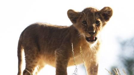 Løveungene i Kristiansand Dyreparken fikk  komme ut i friluft for første gang tirsdag. Her