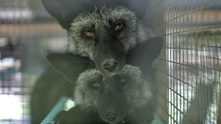 Norsk sølvrev er svært ettertraktet på pelsmarkedet for tiden. Årelange anklager om dyreplageri har ikke satt nevneverdig bremser på næringen.