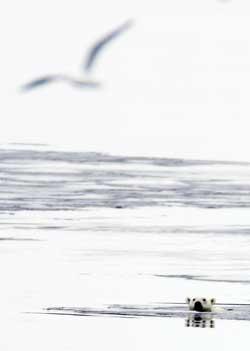 Isbjørnen er en dyktig svømmer, men fanger vanligvis maten sin fra isen. (Foto: Håkon Mosvold Larsen / SCANPIX)