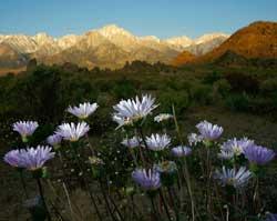 Det er mai 2008, men toppene i Sierra Nevada i bakgrunnen skulle ha vært dekket av snø. (Foto: DAVID MCNEW / Scanpix)