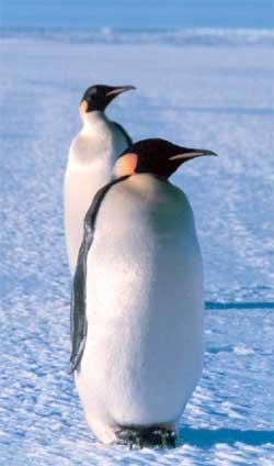 Smelter isen forsvinner livsgrunnlaget til keisepingvinen. (Foto: Wikimedia Commons)