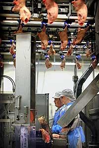 Kyllingproduksjon Kornfågel (Foto: Scanpix)