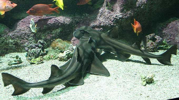 Port Jackson-hai er en ganske så harmløs haisort som lever på sørkysten av Australia. (Foto: Wikimedia.commons)