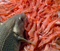 Det er også torsk i trålen, reker er viktig mat for dem. (Foto: Ronald Toppe)