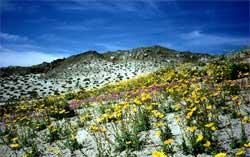 Nevadaørkenen blomstrer i mars. (Foto: Ronald Toppe)