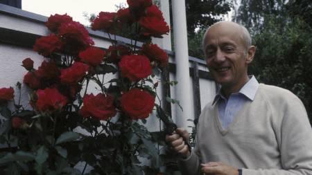 Kåre Willoch klippet røde Ap-roser i hagen sin dagen før stortingsvalget i 1981.  (Foto: Thorberg, Erik/SCANPIX)