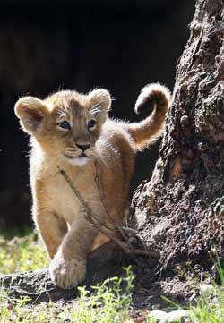 Denne ti uker gamle løveungen er på sin første tur utendørs i London Zoo 13. august.  (Foto: Reuters / Scanpix)