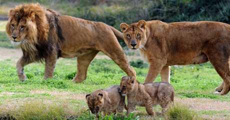 Denne løvefamilien holder til i Parque Lecoq Zoo i Montevideo. (Foto: AFP / Scanpix)
