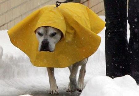 regnhund