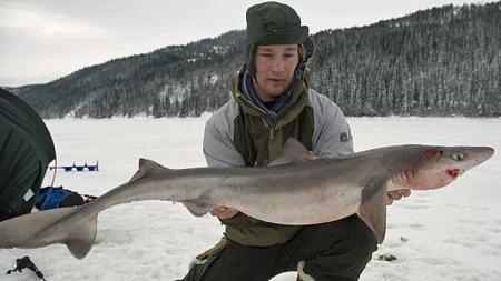 TI KILO: Pigghåen veide nesten ti kilo og målte 123 centimeter. Etter veiing og fotografering, ble haien satt ut igjen. (Foto: Arve Lynghammar)