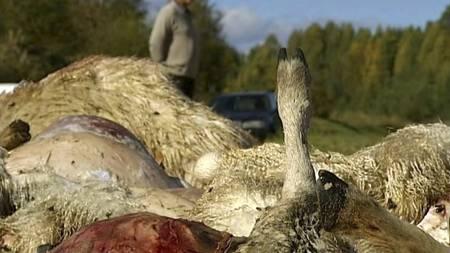 - DREPT AV ULV: Sauebønder har fått mer enn nok av Galven-tispas herjinger. De mener ulven rev i hjel over 740 sauer bare i fjor sommer. (Foto: TV 2/)