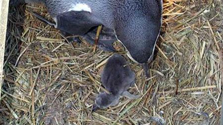 STOLT: Nybakt pingvinforelder vokter over sin nyankomne. (Foto: Atlanterhavsparken)