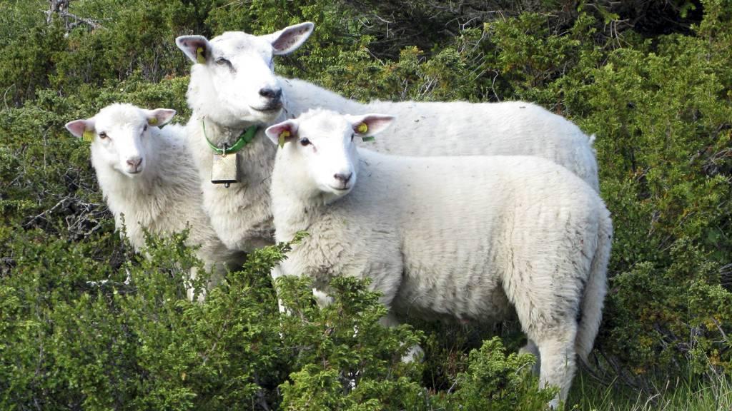 VINNERE: Sau er blant det som prioriteres i tilbudet fra staten i årets jordbruksoppgjør. (Foto: Paul Kleiven/SCANPIX)