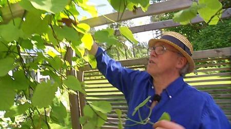 Klatreplanter kan lage et skyggefullt tak. Her viser Finn Schjøll en pipeholurt. (Foto: Erik Manshaus)