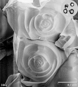 På dette bildet er haglkonene kuttet i to og forstørret 246 ganger. Ringene viser hvordan de har vokst, lag på lag. (Foto: Wikimedia Commons)
