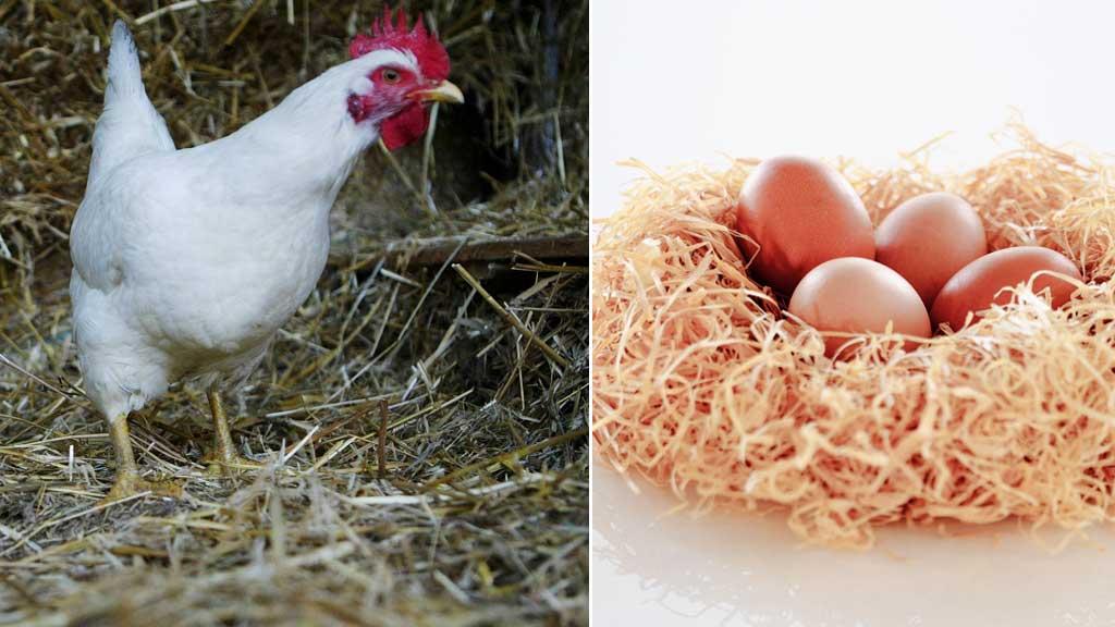 HVA KOM FØRST: Høna eller egget? (Foto: Colourbox)