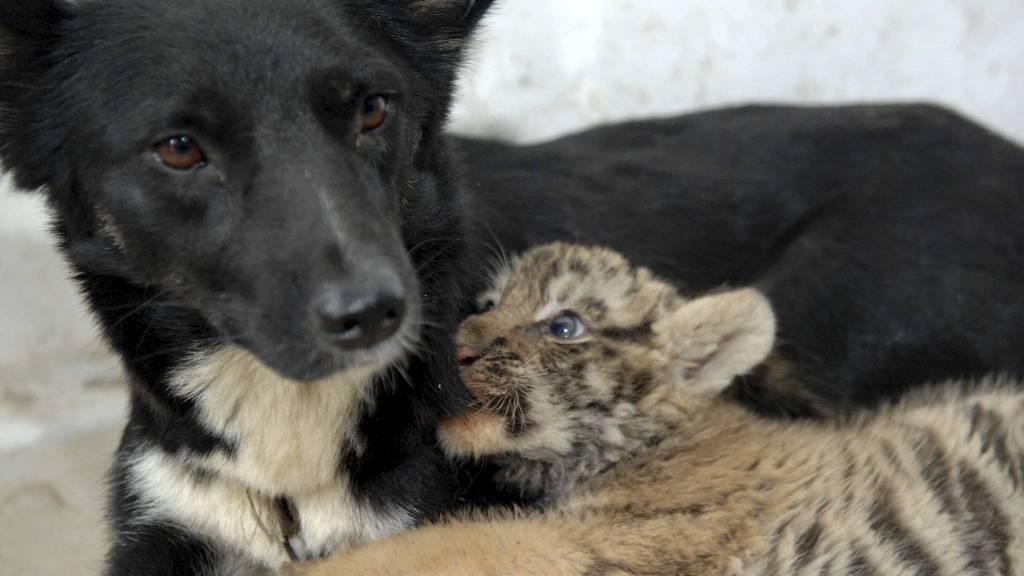 ADOPTERT: Hundetispen stiller opp som mamma for løver og tiger.  (Foto: PT1/wenn.com)