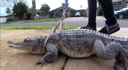 PÅ TUR MED KROKODILLEN: Vicki går daglige turer med den 14 år gamle ferskvannskrokodillen Johnny. (Foto: Sky News)