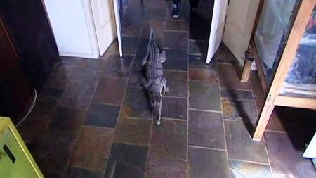 SJEFEN: Krokodillen Johnny på vandring gjennom huset. (Foto: Sky News)