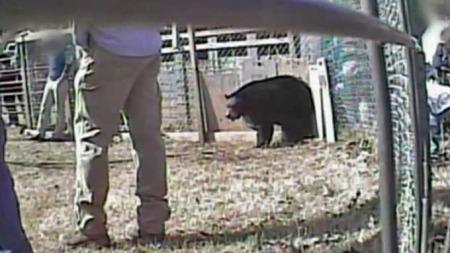 Fastbundet bjørn Sør-Carolina dyreplageri (Foto: Humane society of the United States)