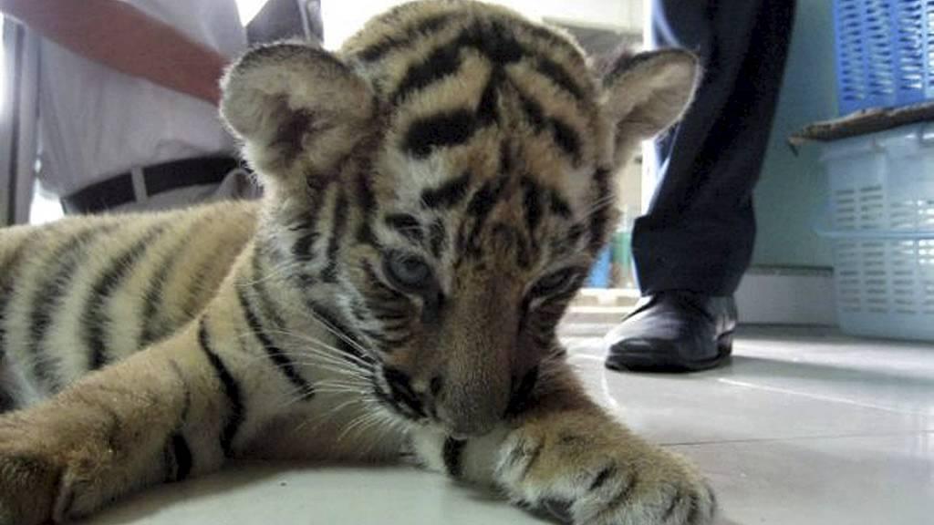 FORSØKT SMUGLET: Denne tre måneder gamle tigerungen lå gjemt i en koffert full av leketigre. (Foto: TRAFFIC Southeast Asia/Afp)