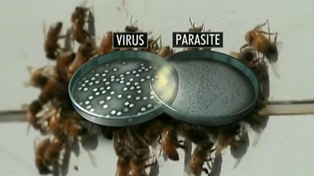 ÅRSAKEN: En unik virustype og en parasitt innen soppfamilien er forklaringen på bienes død. (Foto: CBS)
