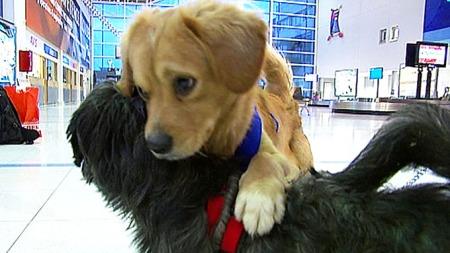 NYTT HJEM: De to spanske hundene Lord og Nelben får nå et nytt hjem på Karmøy.  (Foto: TV 2)