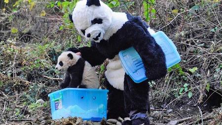 Panda voksen utkledt (Foto: Reuters)