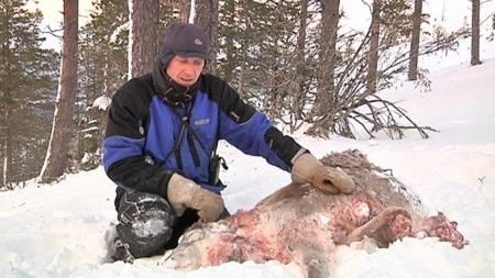 VIL HA FÆRRE ROVDYR: Reineier Hans Erik Sandvik ved en reinkalv som har blitt drept av en gaupe. (Foto: TV 2)