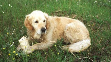 Golden retrieveren er Norges nestmest populære hund. (Foto:   God morgen Norge)