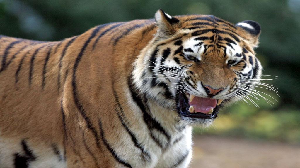 MÅTTE FLYKTE: Tigeren fikk annet å tenke på da den ble jaget til skogs av en sint dame med sleiv. (Foto: Colourbox.com)