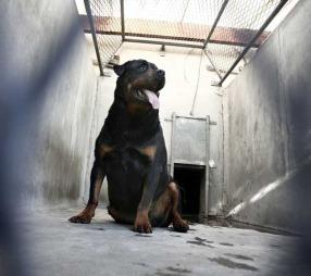 DRAPSHUND: Denne rottweileren bet i hjel to år gamle Romaric i Frankrike i 2008. Hunden tilhørte Romarics foreldre. (Foto: FRED DUFOUR)
