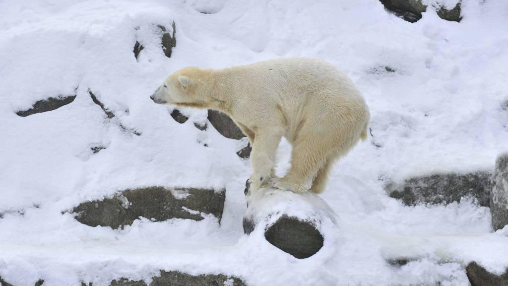DØD: Isbjørnen Knut døde foran forferdede tilskuere. (Foto: JOHN MACDOUGALL/Afp)