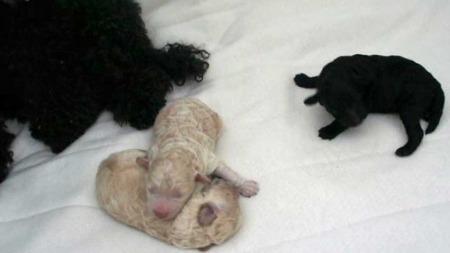 Blossom fikk tre guttevalper, to hvite og en svart. De er nå to uker gamle. (Foto: TV 2)