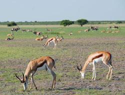 Kalahariørkenen er grønn og frodig deler av året. (Foto: Ronald   Toppe)