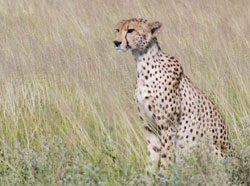 En gepard speider utover sletten. (Foto: Ronald Toppe)