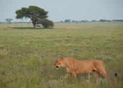 Løver på sletten, bare hundre meter fra leiren. (Foto: Ronald   Toppe)
