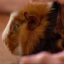 Marsvin er veldig sosiale og vil gjerne være flere sammen. (Foto: TV 2)