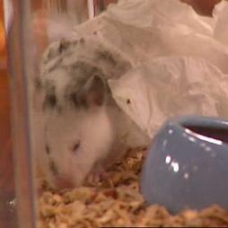 Hamster er ikke veldig sosiale dyr. (Foto: TV 2)