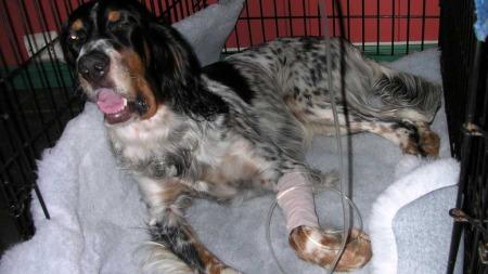 Veterinær Torill Mosengs hund, den engelske setteren Fia. Fia har blitt bitt av huggorm fem ganger! Her er hun svært syk, etter et bitt i leppen.  (Foto: Privat)