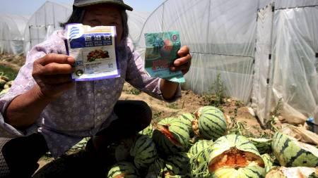 ØYDELAGDE AVLINGER: Den kinesiske bonden held fram kjemikaliane som han har sprøyta melonane med før dei ekspoloderte. (Foto: Ap/Ap)