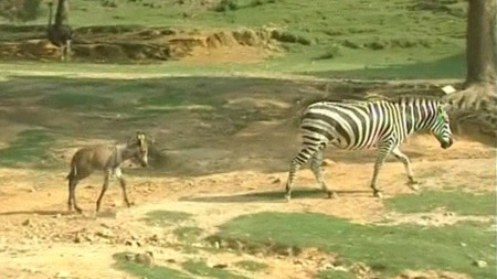 MOR OG BARN: Moren er en zebra, mens faren er et esel. Barnet   har fått stripene til mor på beina og størrelsen til et esel. (Foto:   APTN)